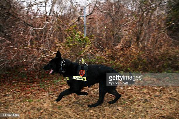 A police dog involved in the search effort runs along a stretch of beach highway where police recently found human remains on April 5 2011 in Babylon...