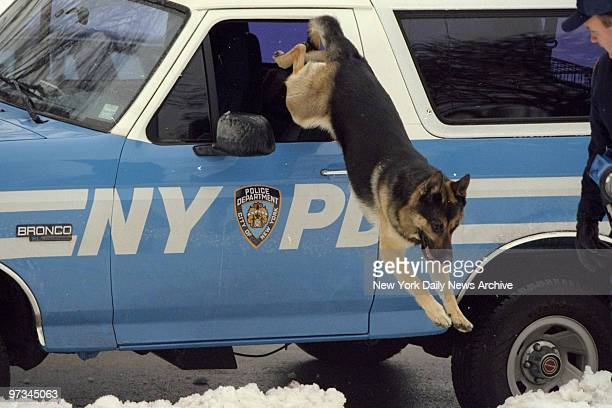 Police dog Zeus hops out of police vehicle to sniff area of a crime scene