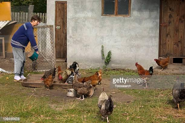 Polish farm woman feeding free range chickens in farmyard