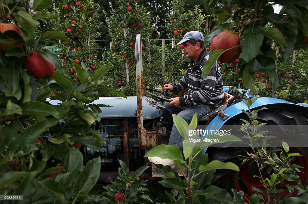 A polish harvester drives an old tractor in between apple trees during the apple harvest next to the lake Constance on September 4, 2009 in Lindau, Germany. The lake is situated in Germany, Switzerland and Austria near the Alps. More then 1500 farmers grow apples in the lake Constance area.