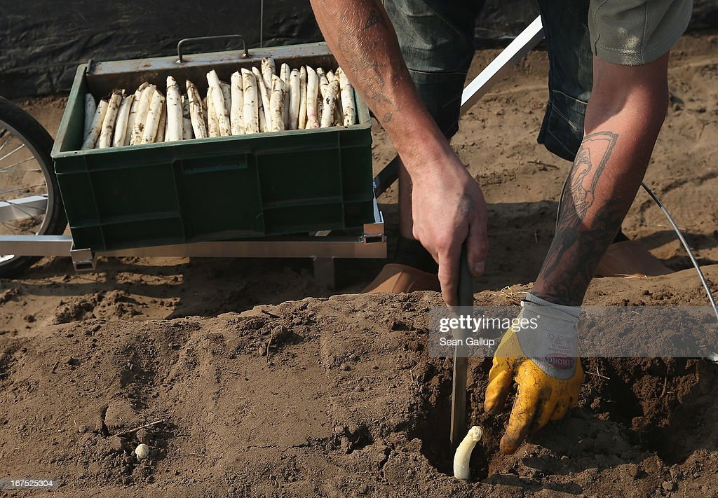 A Polish migrant worker harvests white asparagus from an asparagus field at the Buschmann und Winkelmann Spargelhof Klaistow asparagus farm on April 26, 2013 near Klaistow, Germany. White asparagus, which is grown under black sheeting to protect it from the sun in order to maintain the white color, is a national delicacy and one of the main agricultural products of the local Beelitz region.