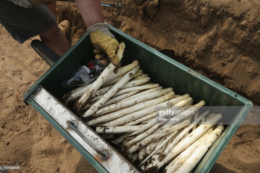 A Polish migrant worker lays freshly-harvested white asparagus into a box at the Buschmann und Winkelmann Spargelhof Klaistow asparagus farm on April 26, 2013 near Klaistow, Germany. White asparagus, which is grown under black sheeting to protect it from the sun in order to maintain the white color, is a national delicacy and one of the main agricultural products of the local Beelitz region.