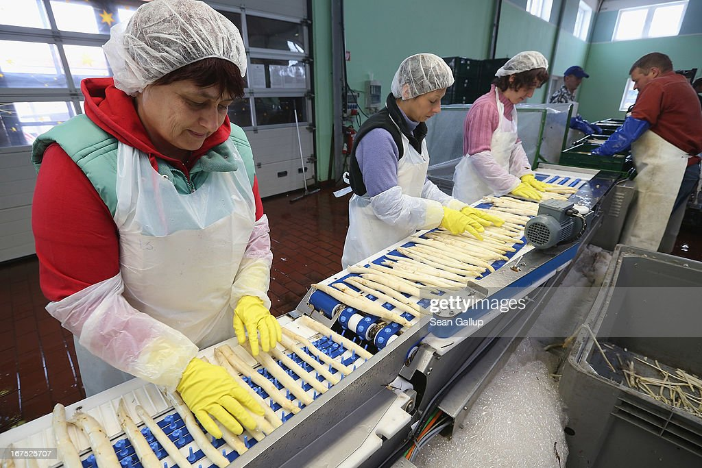 Polish migrant workers sort freshly-harvested white asparagus at the Buschmann und Winkelmann Spargelhof Klaistow asparagus farm on April 26, 2013 near Klaistow, Germany. White asparagus, which is grown under black sheeting to protect it from the sun in order to maintain the white color, is a national delicacy and one of the main agricultural products of the local Beelitz region.