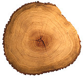 Polished slice through an oak tree
