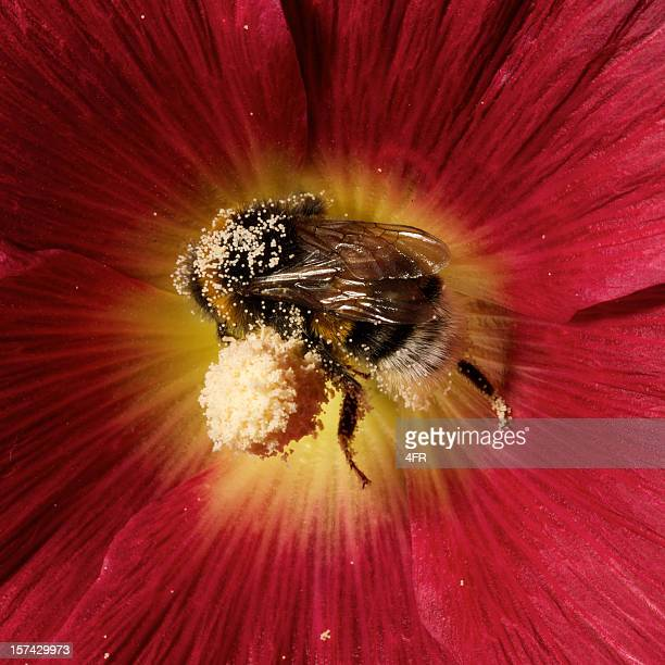 Pollen Covered Bumblebee pollinating a hollyhock