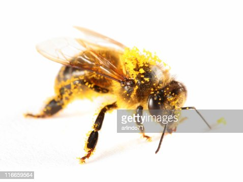 Pollen covered honeybee