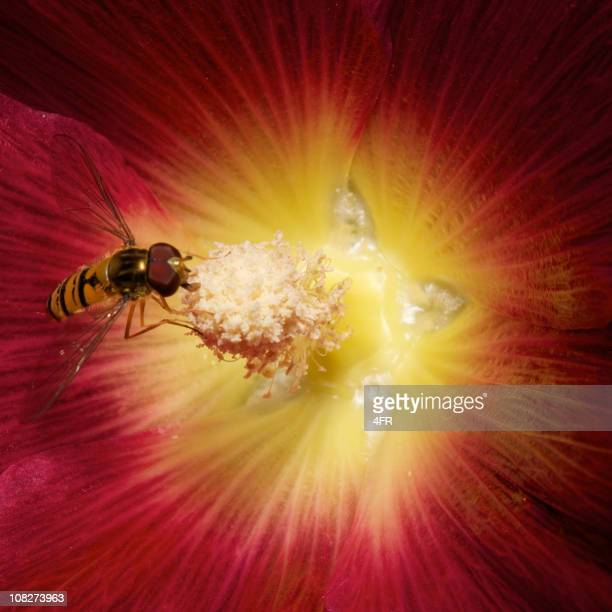 Pollen Covered Insect pollinating a hollyhock