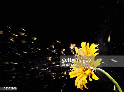 Pollen flying from yellow gerbera daisy