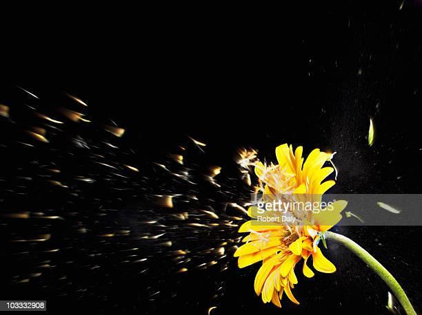 Pollen de gerbera jaune volant