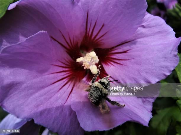 Pollen-eating bumblebee