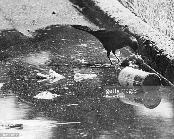 MAY 31 1971 JUN 1971 JUN 6 1971 Pollution Is For The Birds Man's sloppy manners a basic factor in polluting the environment is an asset for this...
