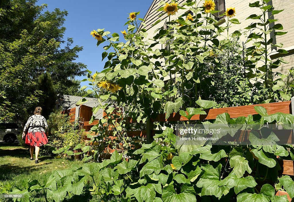 Polly Dicker left walks past 12 foot sunflowers near the neighborhood's Pop Up Farm stand at the intersection of East 7th Avenue and Bellaire street...