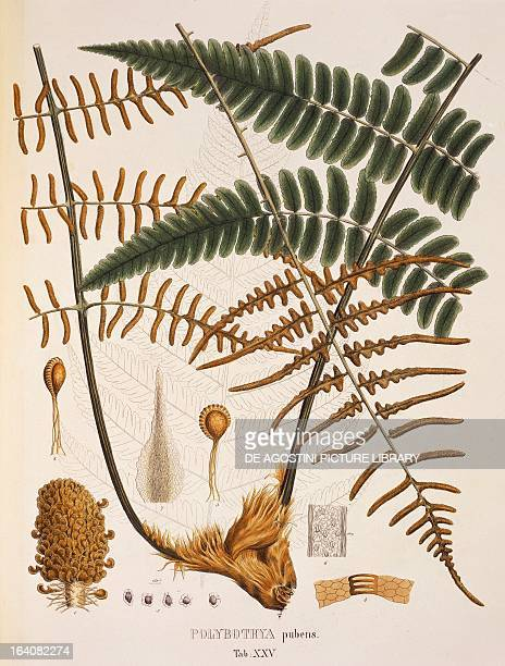 Polybotrya pubens colour engravings from Plantarum Cryptogamicarum Brasiliensium plate XXV by Johann Baptist Ritter von Spix and Carl Friedrich...