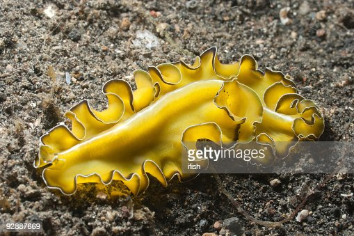 Polyclad Flatworm  Pseudobiceros flowersi on black sand of Lembeh Strait