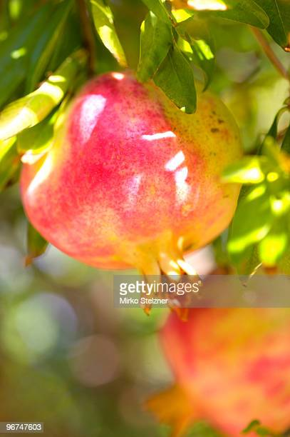 Pomegranate Tree (Punica granatum)