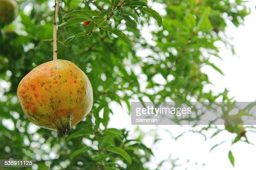 Las granadas branch : Foto de stock