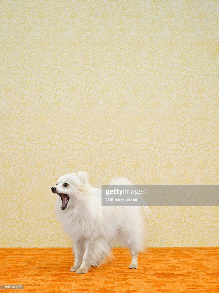 Pomeranian (Canis lupis familiaris) barking