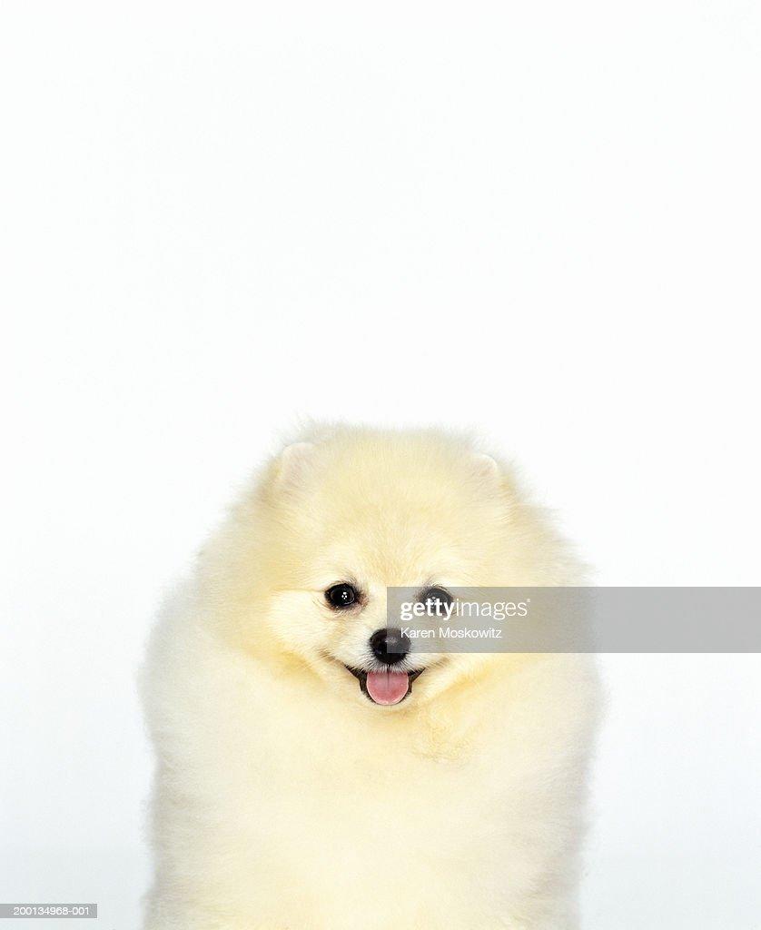 Pomeranian dog, close-up : Stock Photo