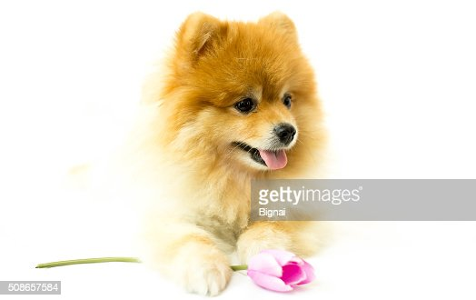 Pomeranian dog holding a flower in isolated : Stock Photo