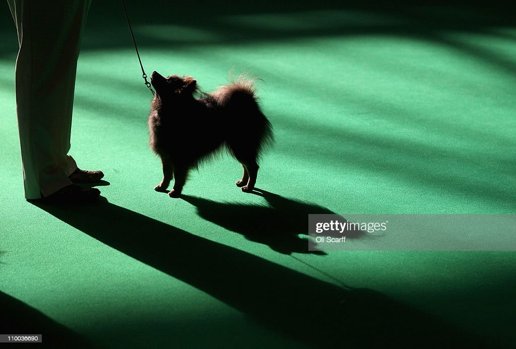 A pomeranian dog is judged on the final day of the annual Crufts dog show at the National Exhibition Centre on March 13 2011 in Birmingham England...
