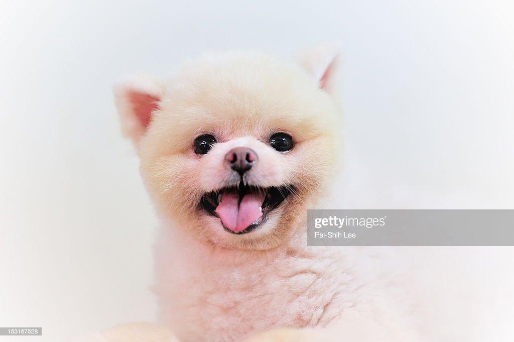 Pomeranian dog : Stock Photo
