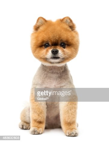 Pomeranian Dog Sitting And Looking At The Camera Stock Photo