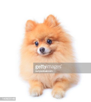 Pomeranian Dog Sitting In Front Of White Background Stock Photo