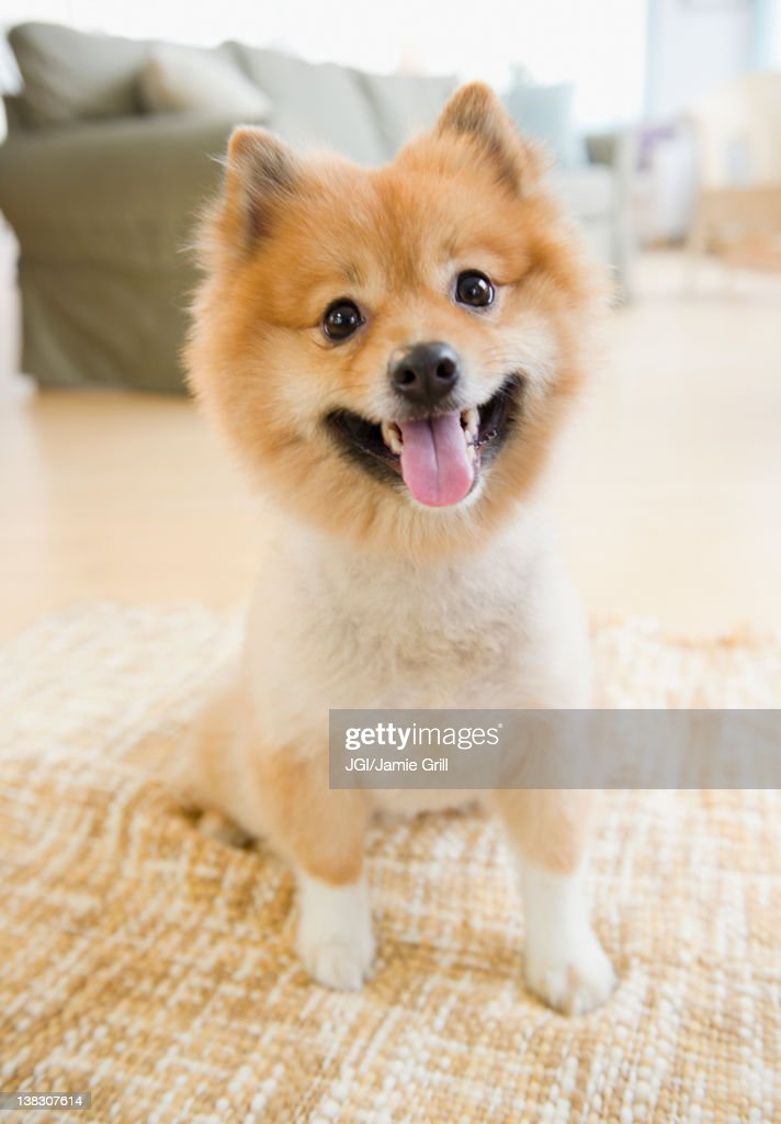 Pomeranian dog sitting on living room floor
