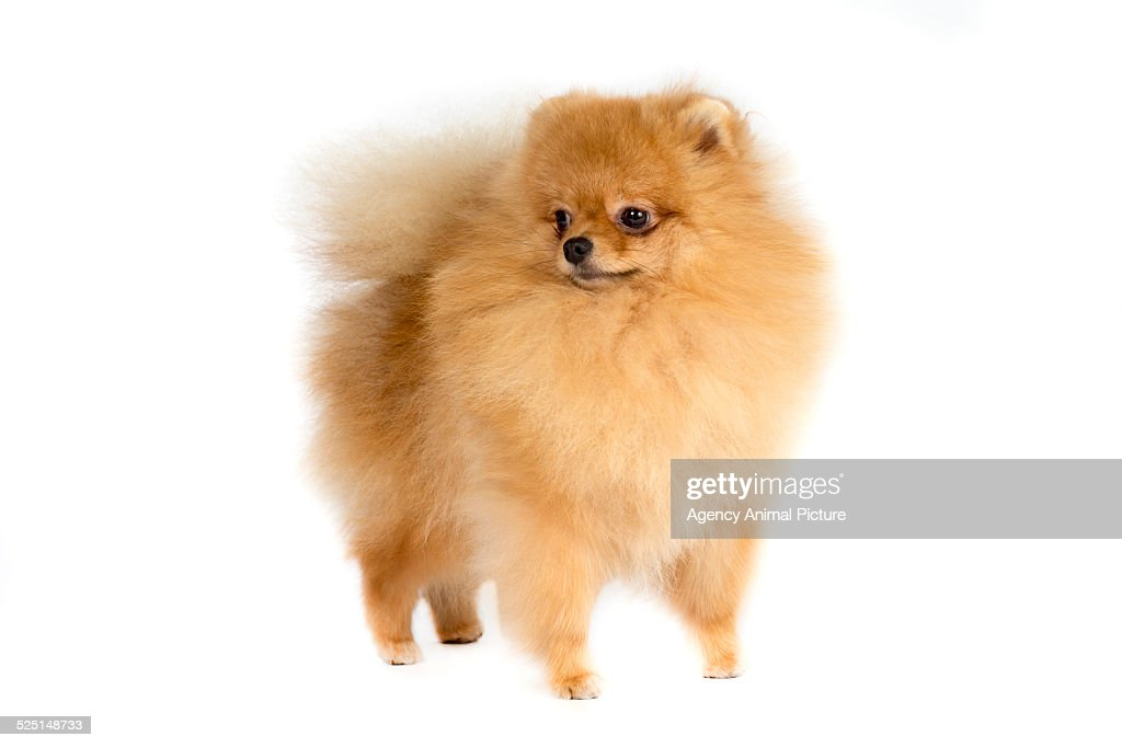 Pomeranian dog studio shot.