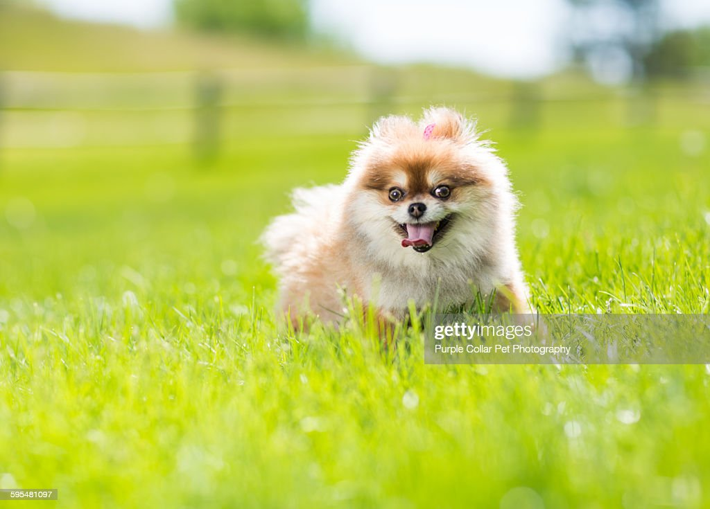 Pomeranian dog walking through grass
