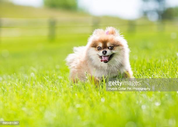 Pomeranian dog walking through grass