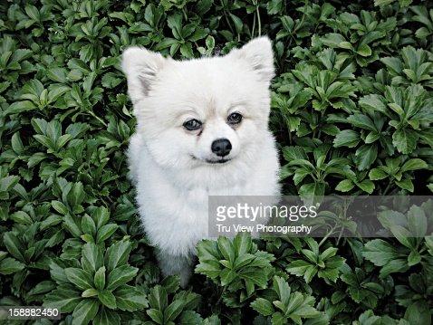 Pomeranian in pachysandra : Stock Photo