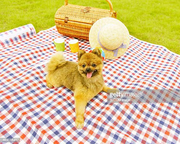 Pomeranian On Blanket In Garden