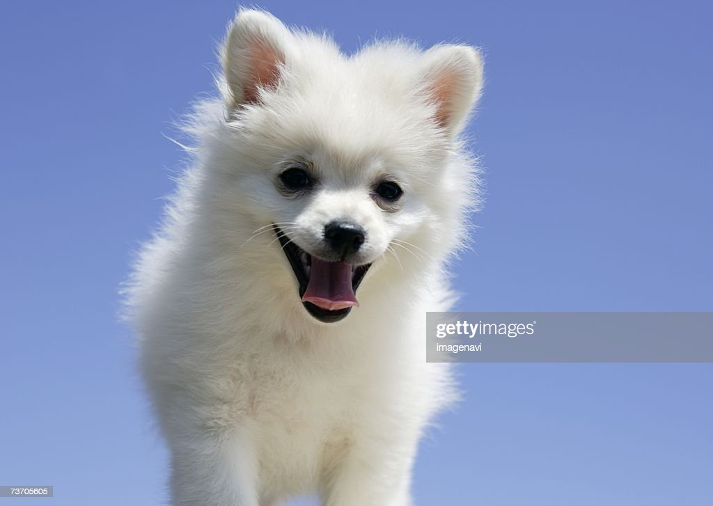 Pomeranian (white) : Stock Photo