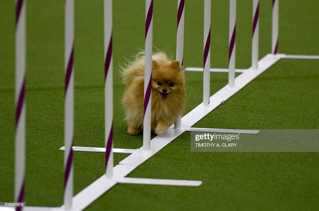 A Pomeranian runs the agility course during the 3rd Annual Masters Agility Championship on February 13, 2016 in New York, at the 140th Annual Westminster Kennel Club Dog Show. Dogs entered in the agility demonstrate skills required in the challenging obstacles that they will need to negotiate. / AFP / Timothy A. CLARY