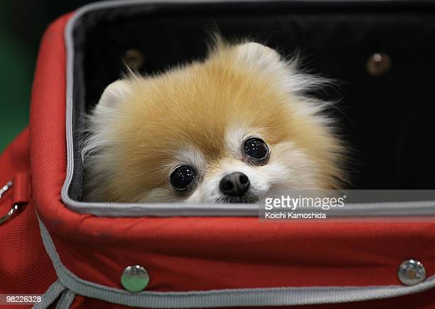 Pomeranian sits in a cart during the Asian International Dog Show at Tokyo Big Sight on April 3 2010 in Tokyo Japan
