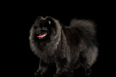 Furry Pomeranian Spitz Dog Standing on Isolated Black Background, side view