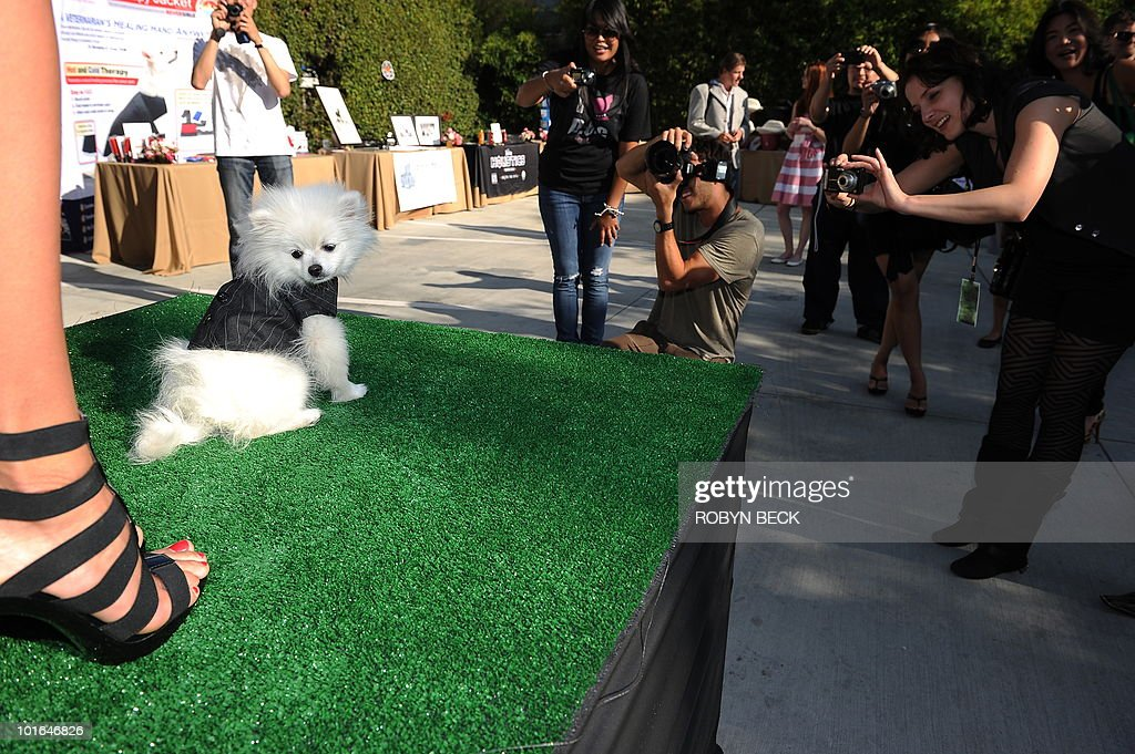 A pomeranian wearing a pinstripe jacket poses on the catwalk during the Buddha Bark WonderPark canine fashion show on June 4, 2010 at Chaz Dean Studio & Zen Garden in Los Angeles. The Buddha Bark WonderPark luxury lounge event brings together celebrities and their dogs to introduce natural canine welless lifestyle solutions.