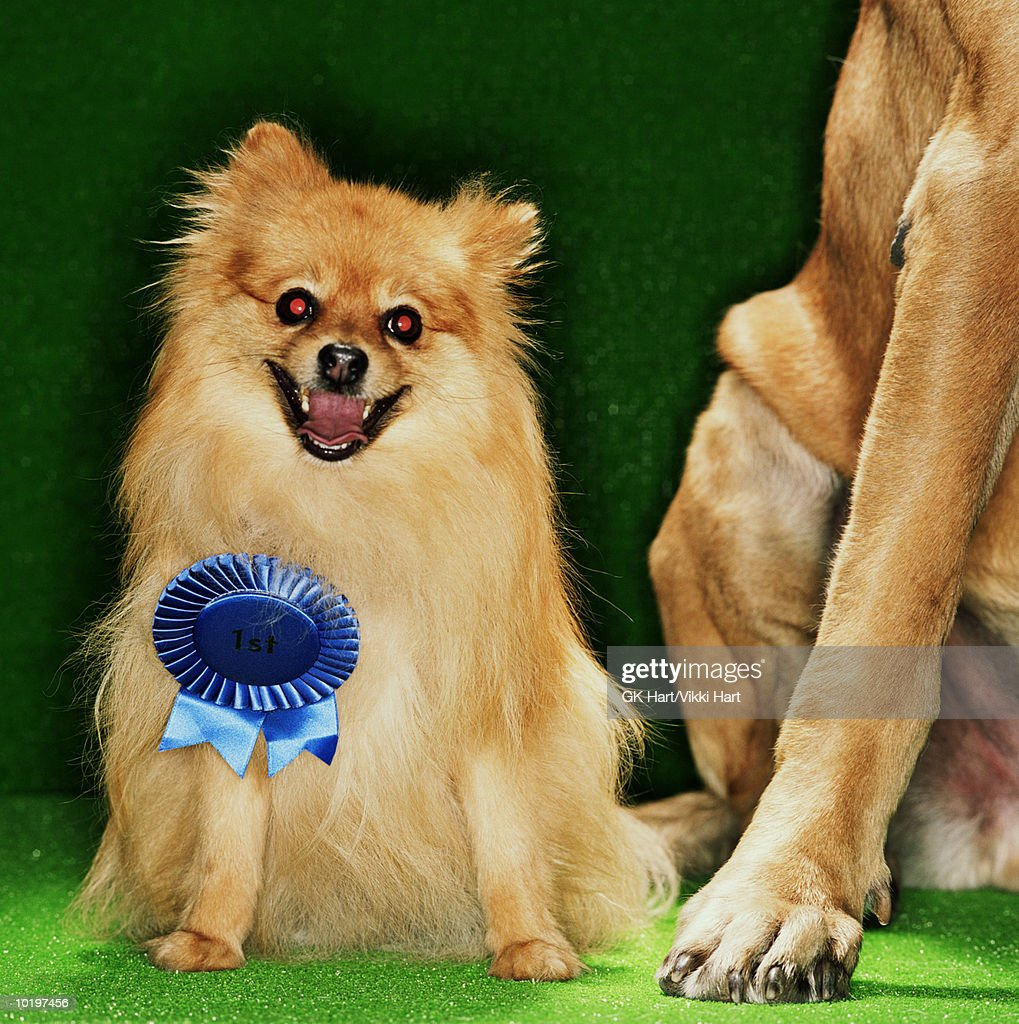 Pomeranian with 1st place ribbon, Mastiff dog on side : Stock Photo