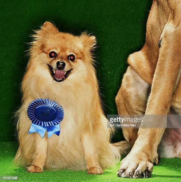 Pomeranian with 1st place ribbon, Mastiff dog on side