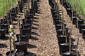 line of fruit trees in plant pots