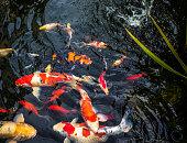 A pond full of Koi Carp fish