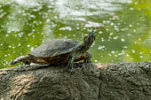 Pond slider turtle resting on rock while stretching its back legs near a pond
