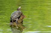 Pond slider turtle resting on tree stump in a pond