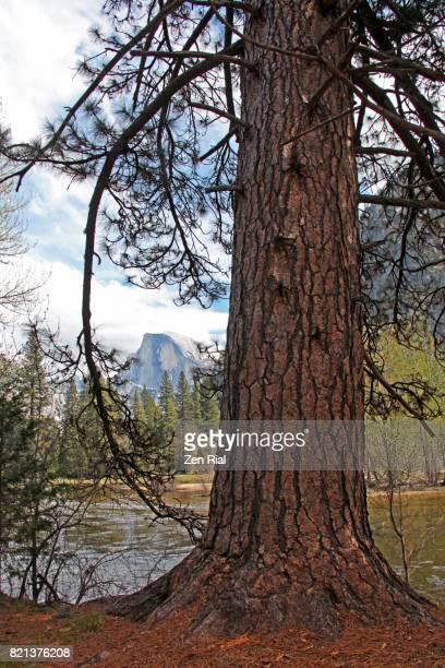 Ponderosa Pine (Pinus Ponderosa), also called bull pine, blackjack pine, or Western yellow-pine