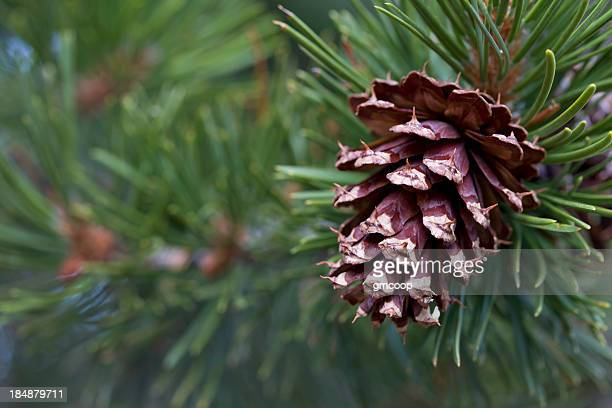 Ponderosa Pine Cone Horizontal (pinus ponderosa)