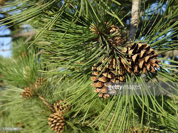 ponderosa pine cones, close up on the tree