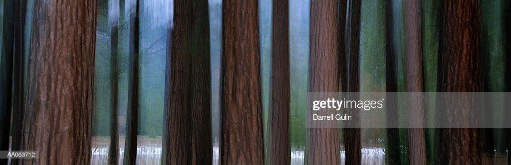 Ponderosa Pines (Pinus ponderosa) California, USA (long exposure) : Stock Photo