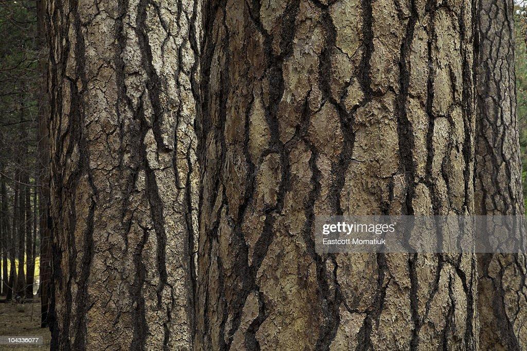 Ponderosa pines,Yosemite National Park, Ca : Stock Photo