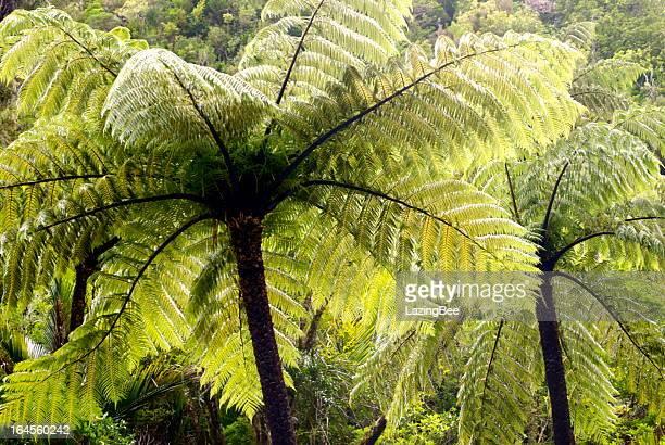 Ponga Tree Fern Canopy, New Zealand
